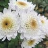 Скромні мелкоцветковиє хризантеми