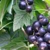 Смородина титания та інші смачні та високоврожайні сорти для помірної кліматичної зони!