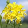 Свербига східна (bunias orientalis l.)