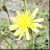 Скерда покрівельна (crepis tectorum l.)
