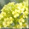 Суріпиця звичайна (barbarea vulgaris r.br.)
