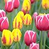 Сорти і різновиди тюльпанів згідно сучасної класифікації