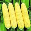 Сорти кукурудзи найпопулярніші й найсмачніші