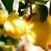 Сорти лимона
