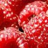 Сорти малини - вибираємо по врожайності, стійкості до захворювань і смаковими якостями!