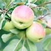 Сорти плодових і ягідних культур з лікувальними властивостями