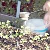 Сорти редиски: тест на осінній посів