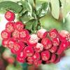 Горобина звичайна / sorbus aucuparia