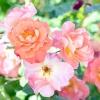 Сорти троянд, добре квітучі в умовах недостатньої освітленості