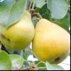 Сорти солодких і соковитих груш