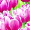 Сорти тюльпанів, а також їх види - всі секрети прекрасної квітки