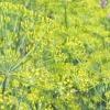 Сорти кропу: посадка та вирощування різних сортів