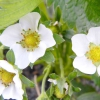 Сорти суниці садової