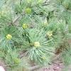 Сосна гнучка, або звивиста (pinus flexilis) і її сорти