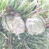 Сосна кедрова європейська - pinus cembra