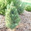 Сосна кедрова стланикової, кедровий стланик - pinus pumila