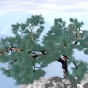 Сосна мелкоцветковая, японська біла сосна - pinus parviflora