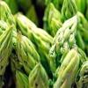 Спаржа: опис рослини і вирощування спаржі