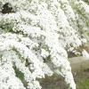 Спірея - прикраса будь-якого саду!