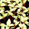Строки посіву сухоцвітів на розсаду