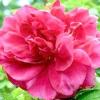 Старовинні гібриди троянди зморшкуватою
