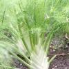 Чи варто вирощувати фенхель