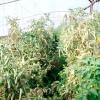Столбур або фітоплазмоз овочевих культур
