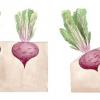 Буряк: як отримати хороший урожай