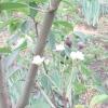 Норовлива груша цвіте в червні