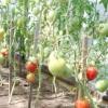 Технологія вирощування томатів у теплиці