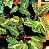 Тіньолюбні і тіньовитривалі кімнатні рослини