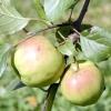 Типи яблуневого саду