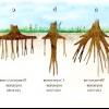Типи кореневої системи деревних і чагарникових рослин