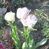 Тюльпан-загадка
