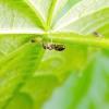 Попелиця і мураха