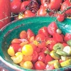 Томат будьонівка та інші високоврожайні та стійкі сорти для помірної кліматичної зони