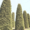 Туя складчаста, або гігантська - thuja plicata (t.gigantea)