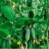 Добриво, підгодівля овочів, як правильно годувати рослини