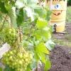 Пригостити вас будемо раді ми уральським виноградом !!! вродилася як картинка, солодка на грядці динька!