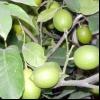 Догляд за деревом кімнатний лимон з кісточки в домашніх умовах