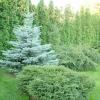 Догляд за хвойними рослинами навесні