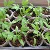 Догляд за розсадою томатів, помідорів в теплиці полив, підживлення