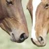 У допомогу починаючому конярів - як народжують коні і можливі ускладнення вагітності