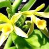 Ваніль - різновид запашної орхідеї