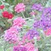 Вербена - цвіте і пахне!