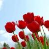 Весняне чарівність тюльпанів