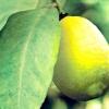 Лимон / citrus limon