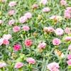 Види і сорти гвоздики: гвоздика садова шабо