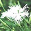 Види і сорти гвоздики: багаторічні гвоздики