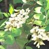 Робінія псевдоакація / robinia pseudoacacia